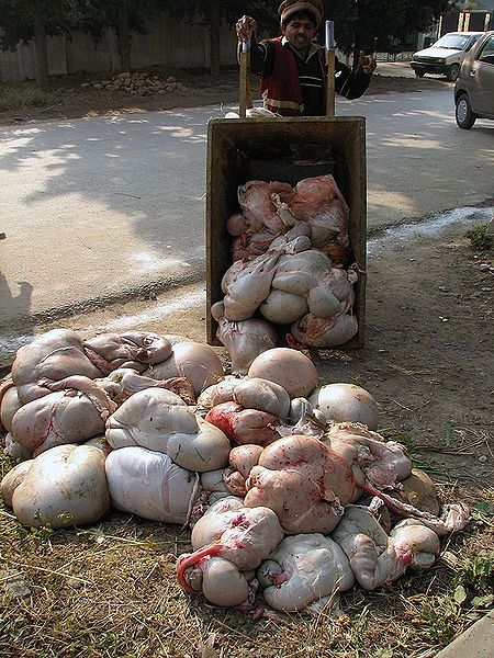 File:Images-animalsacrifice-0011.jpg